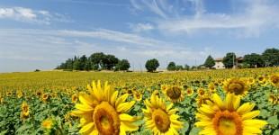 Alviano - Campo di girasoli
