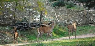 Assisi - Cerbiatti nel Parco del Subasio