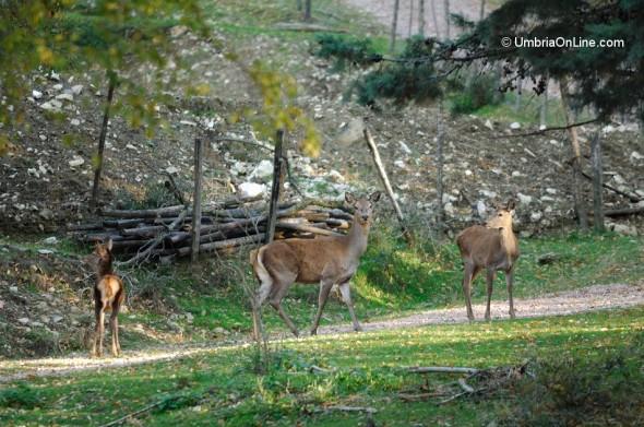 Cerbiatti sul Monte Subasio vicino ad Assisi